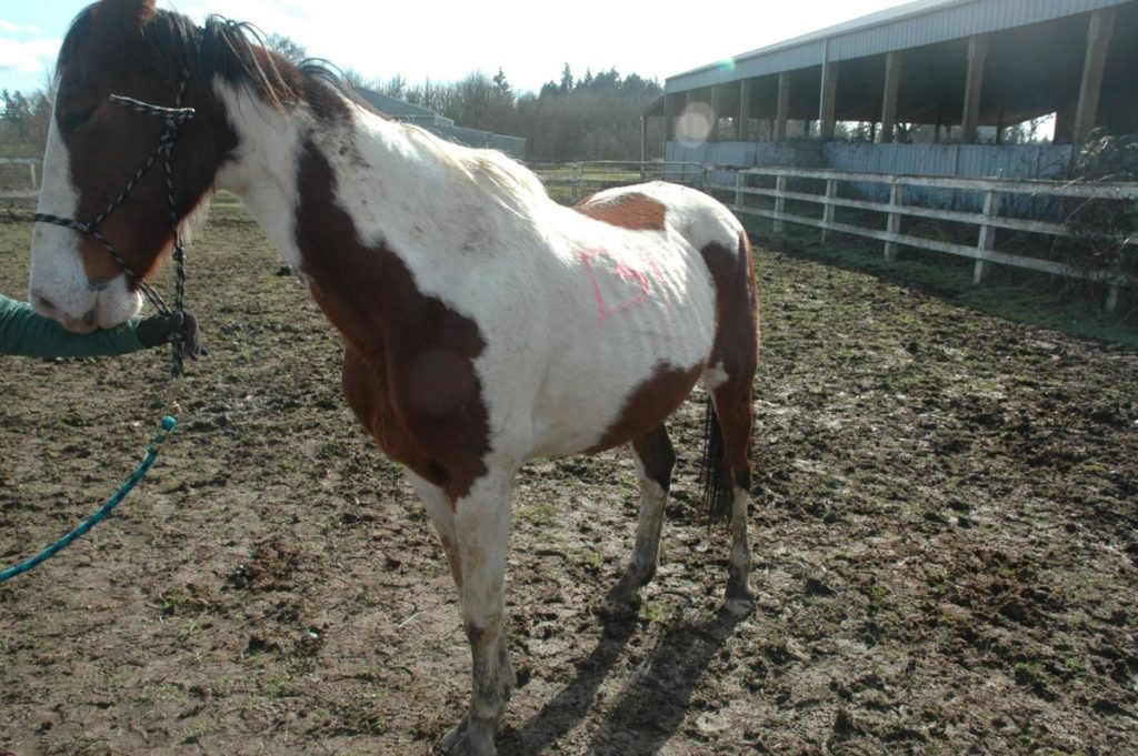 Neglected horse seized from Susan Swango in February 2021.